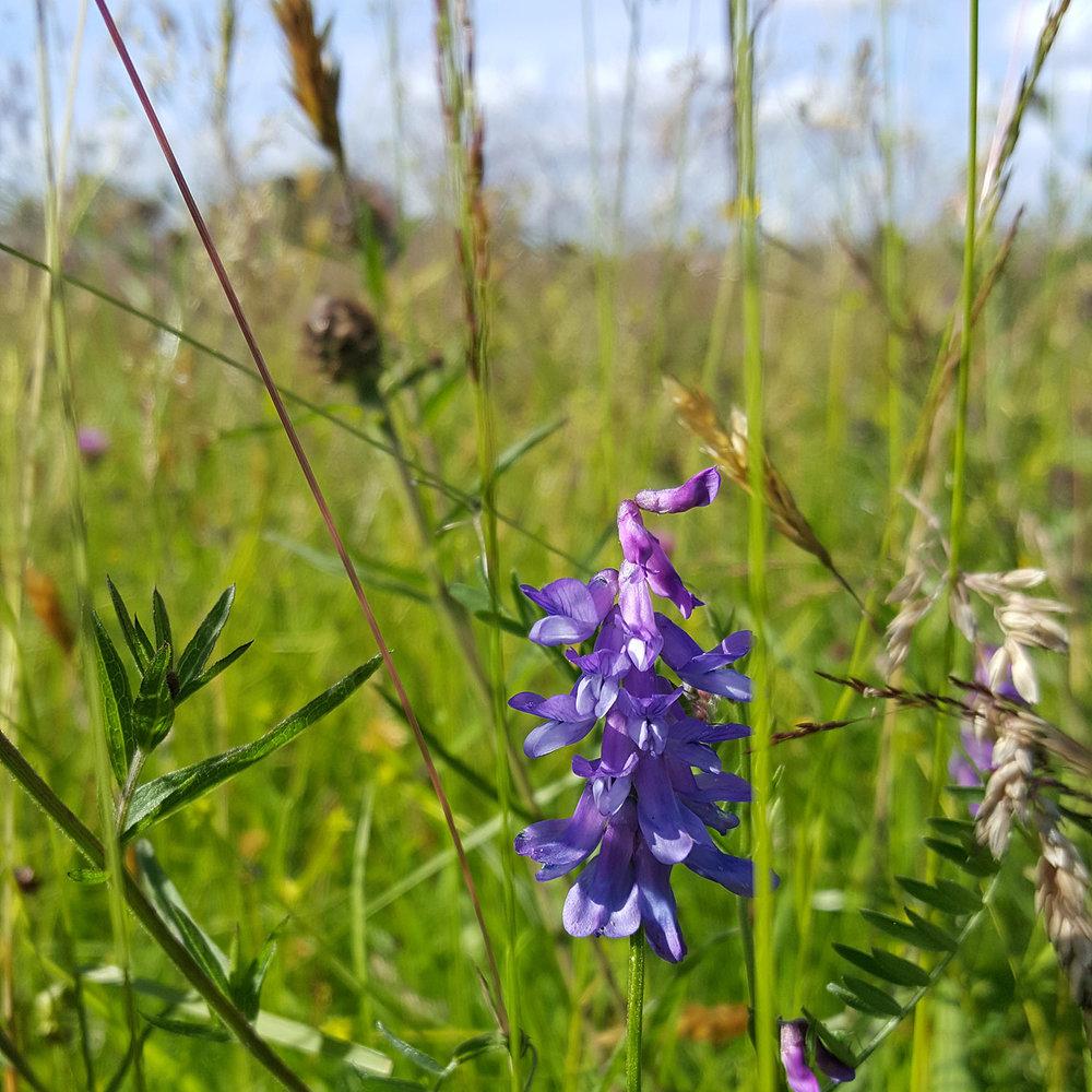 Meadow-flower_20160703_164449_1500Sq.jpg