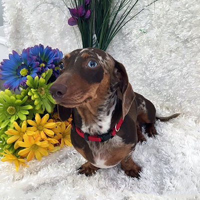 Dachshund Unlimited's    AKC Bailey