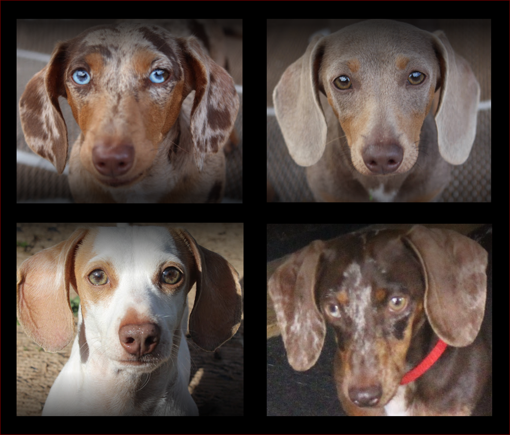 Dachshunds Unlimited's   AKC Logan, AKC Brooklyn, AKC Frost, and AKC Shiloh