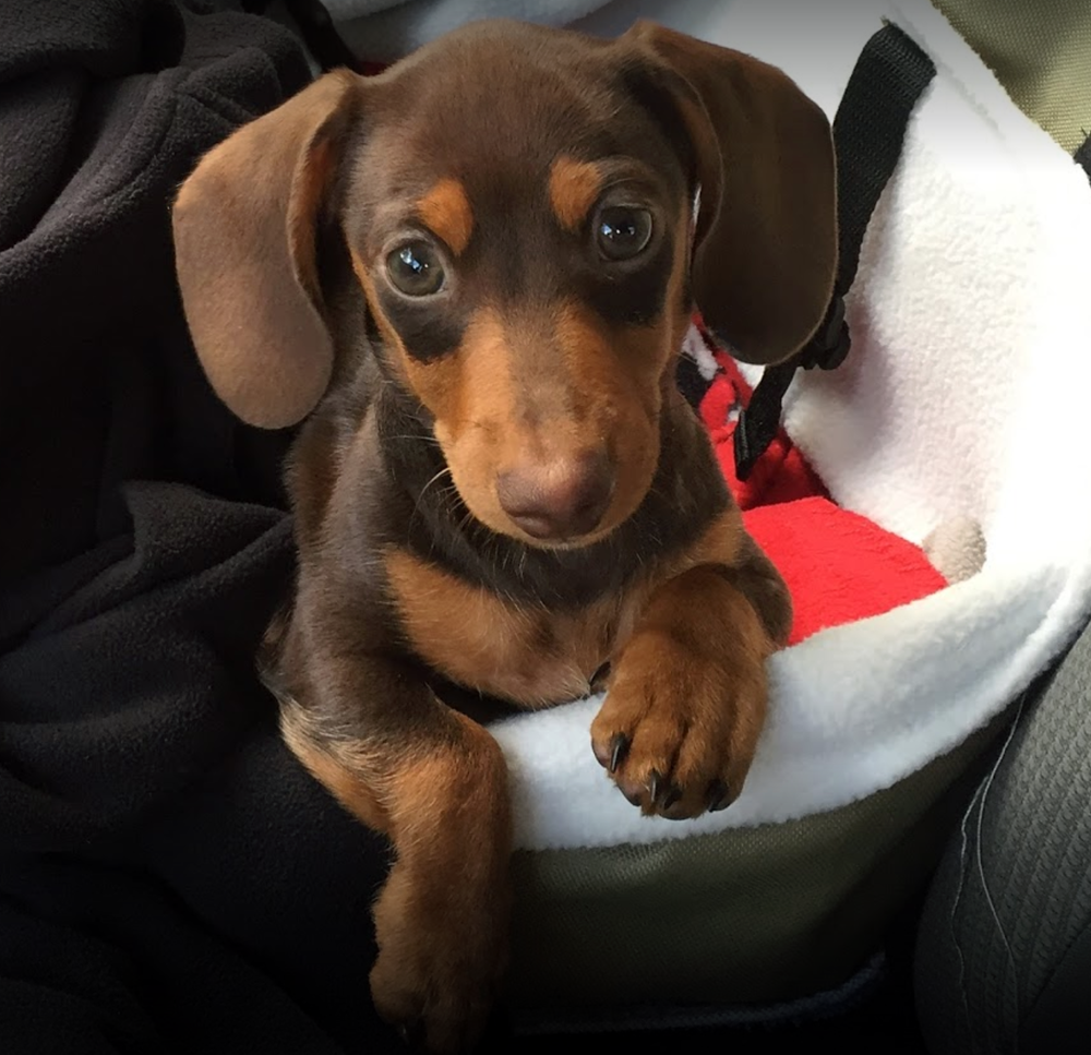 Dachshunds Unlimited-Mission Puppy1 -CR.png