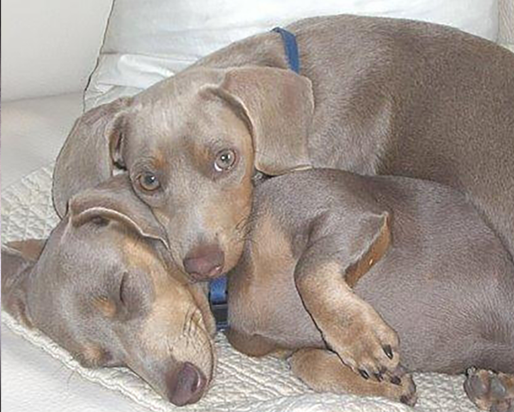 Dachshunds Unlimited-Forever Home-2.png