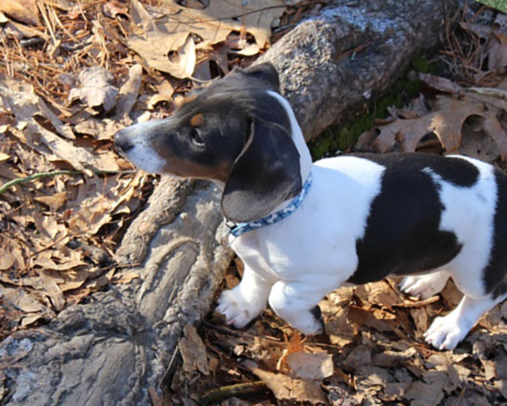Dachshunds Unlimited-Forever Home-5.png