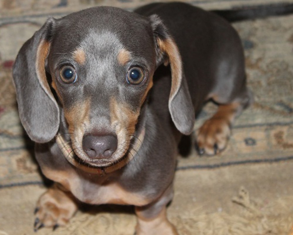 Dachshunds Unlimited-Forever Home-6.png