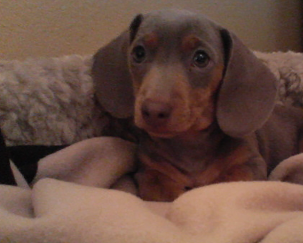 Dachshunds Unlimited-Forever Home-23.png