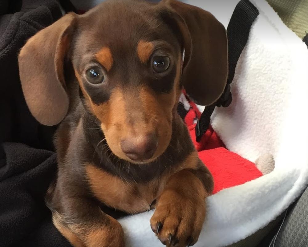 Miniature Dachshund Dapple Puppies For Sale | Ritchie