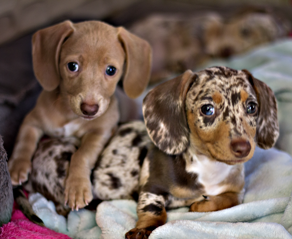 Dachshund Unlimited's   AKC Briar Rose and her brother