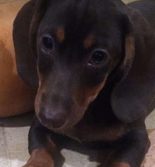 DU-Dachshund FAQs Puppy.png