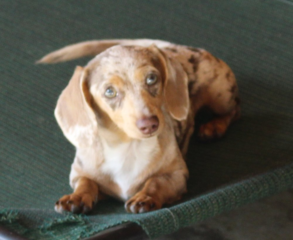 Dachshunds Unlimited's   AKC Lilly