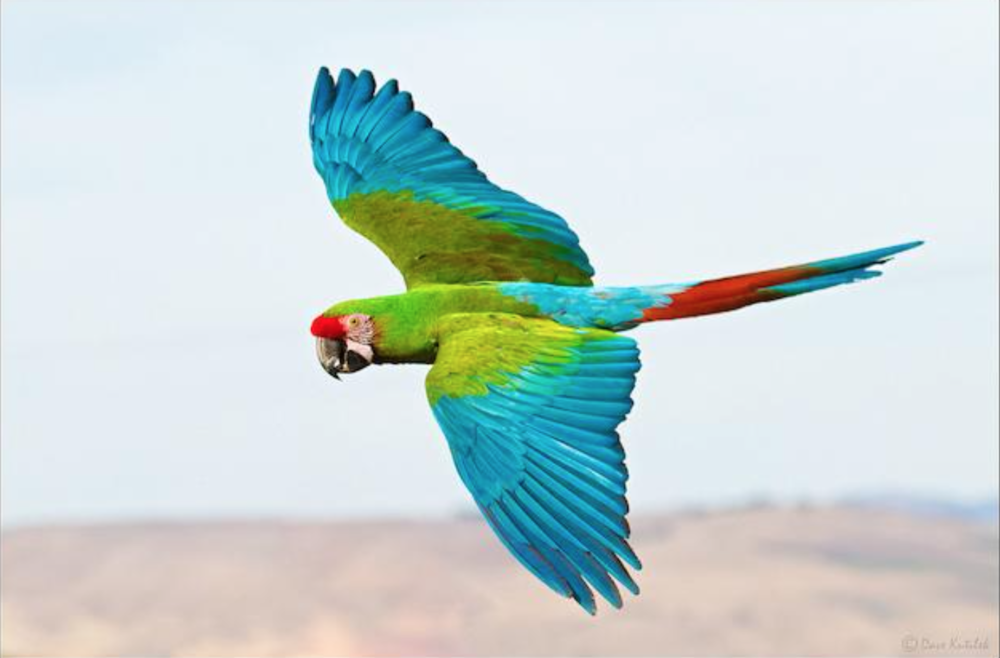Green Military Macaw (Guacamaya) by Dave Kutilik