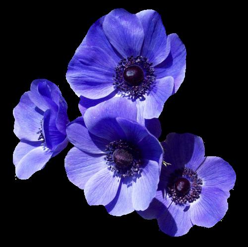 PNGPIX-COM-Purple-Flower-PNG-Transparent-Image-500x498.png