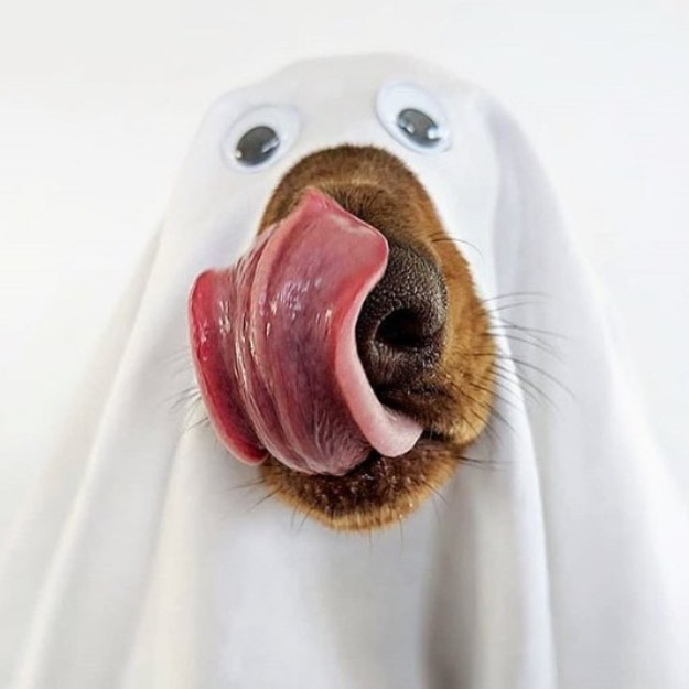 Happy Halloween! 🎃 . . .  Amazing dachshund doggie snap by @schmitt.happenss 📷
