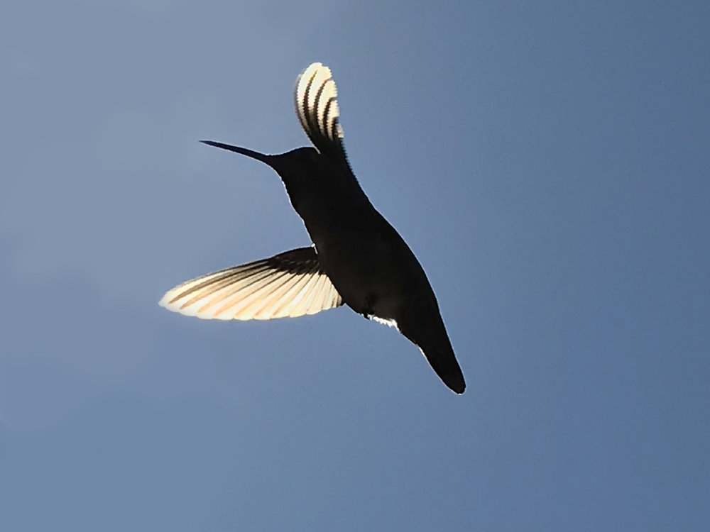 hummingbird-1.jpg