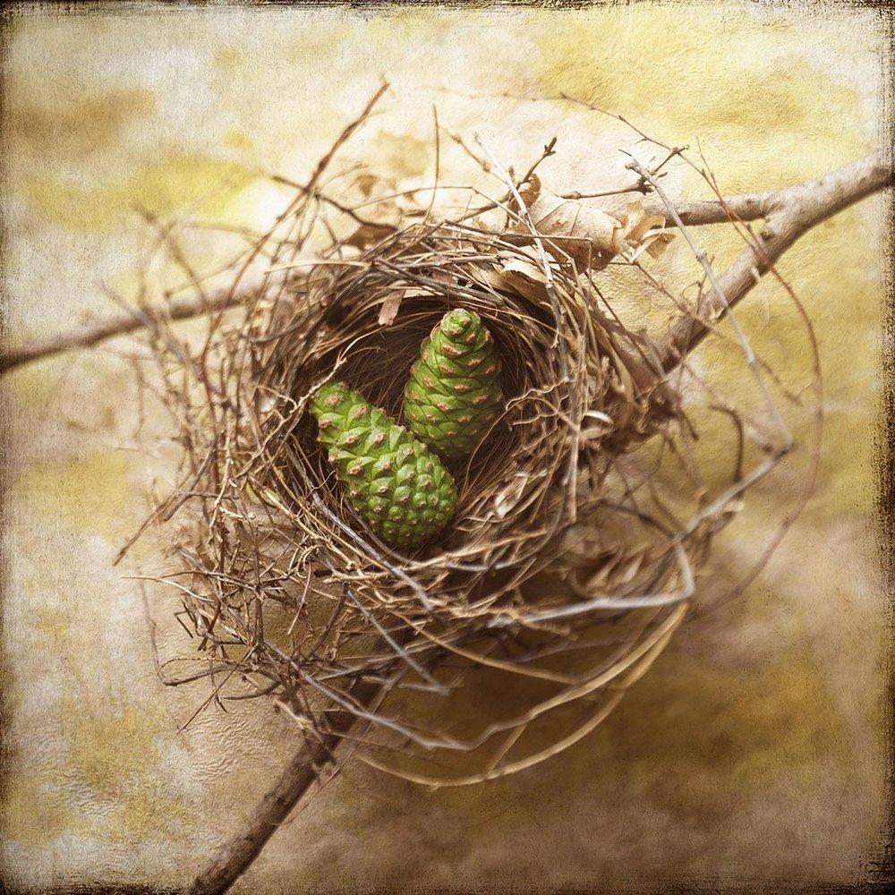 Pine Cones In Nest
