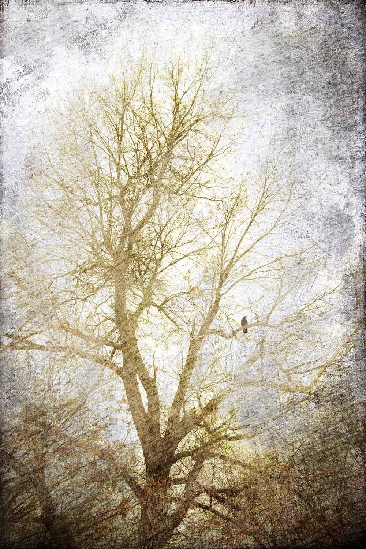 Crow In The Oak