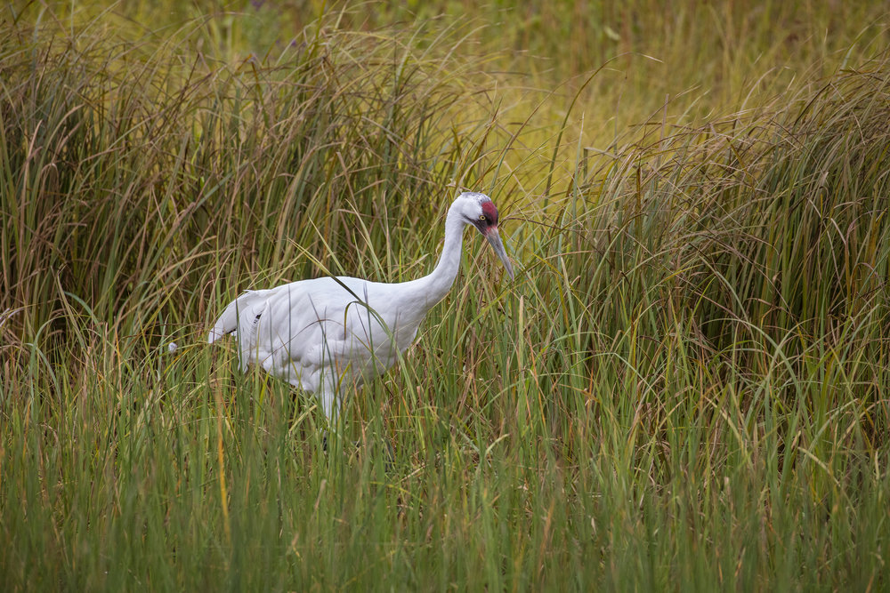 WHOOPING CRANE IN TALL GRASS