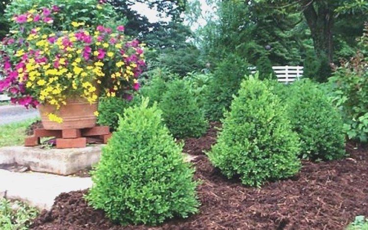 elementree green mountain boxwood