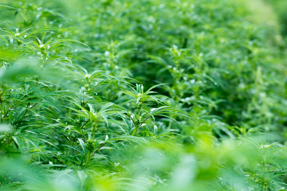 Pesticide-Free and Sustainably Grown Hemp