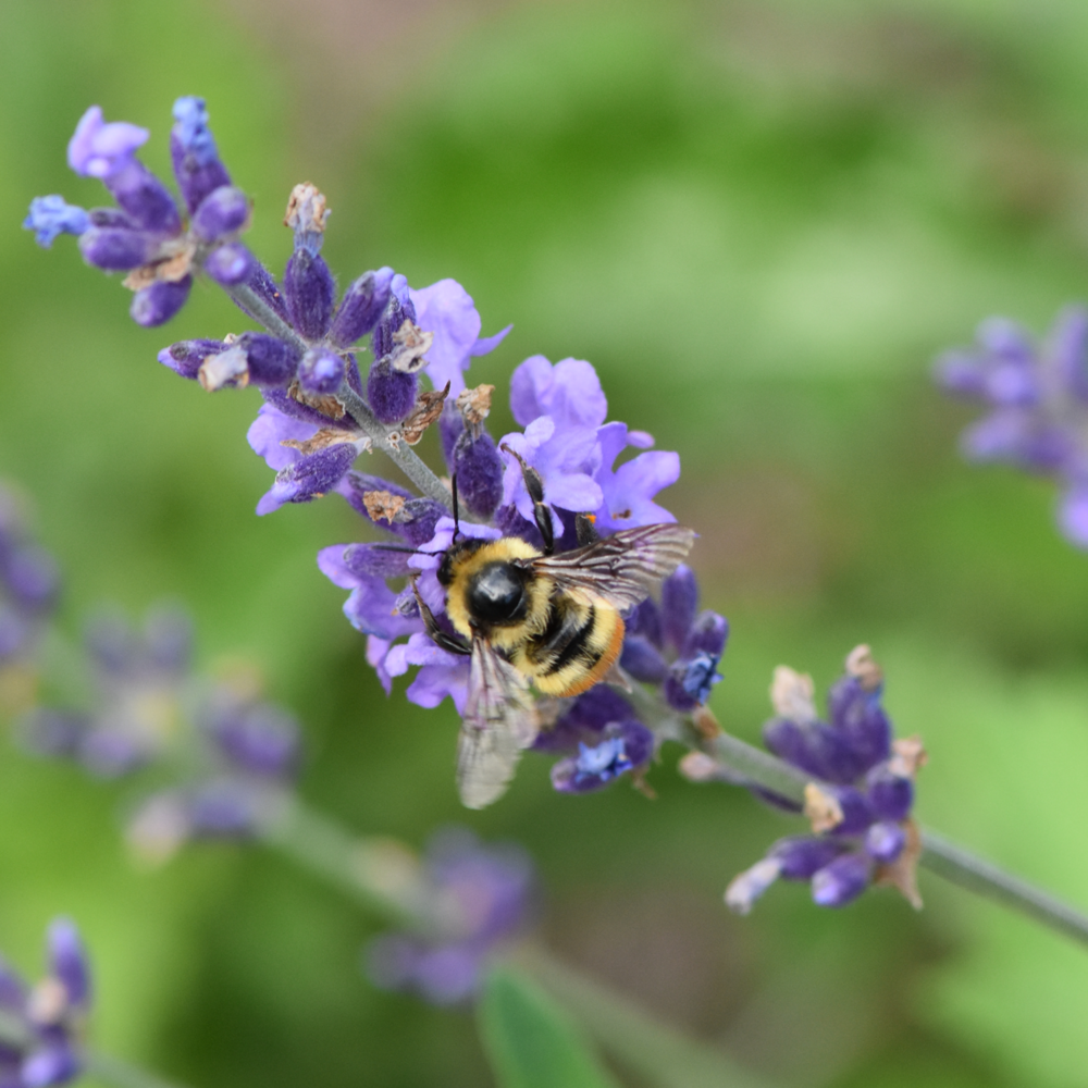 lavender bee.png
