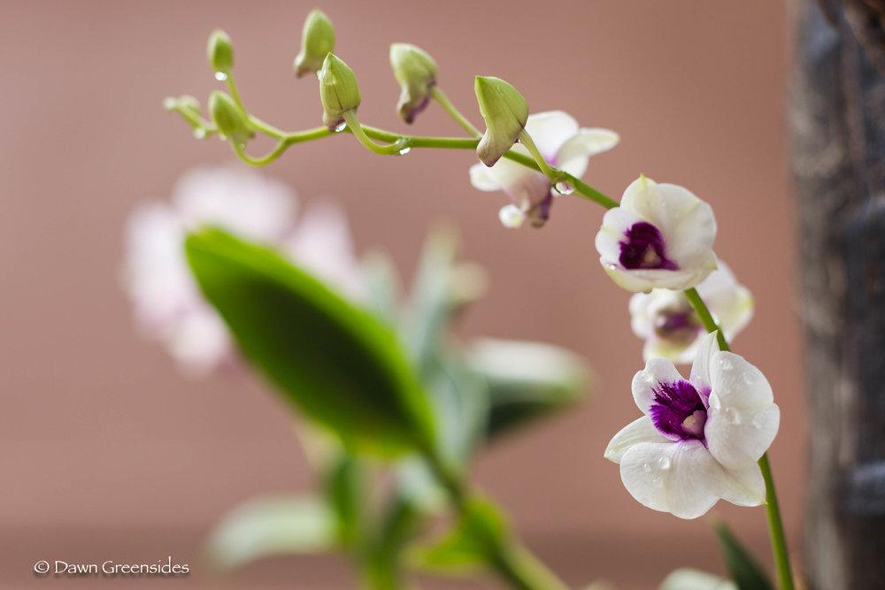 Orchid 2018-2.jpg