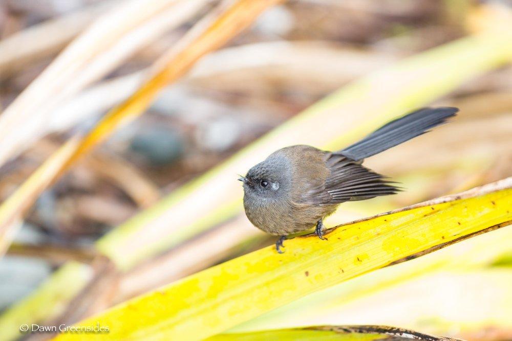 Fantail (black morph)