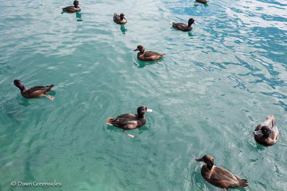 New Zealand Scaups