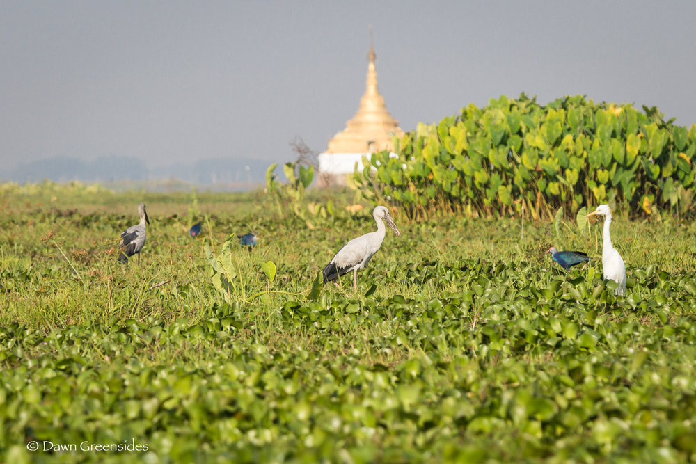 We don't get much spring here in Myanmar, but spring time is the time for migratory birds! Here are some Asian Openbill Storks and Purple Swamphens in  Moe Yun Gyi  Wetlands.