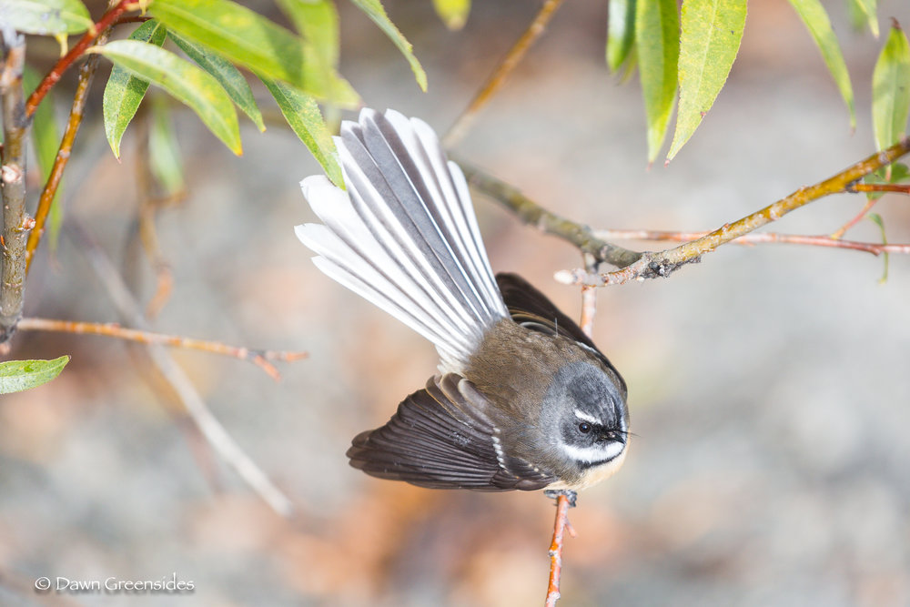 I wouldn't be me if I didn't include some  bird pictures ! We haven't done much birding this year, but I caught this New Zealand Fan Tail on our visit there in April.