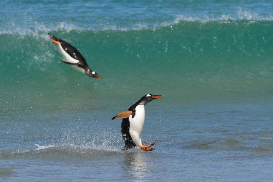 gentoos love to surf!