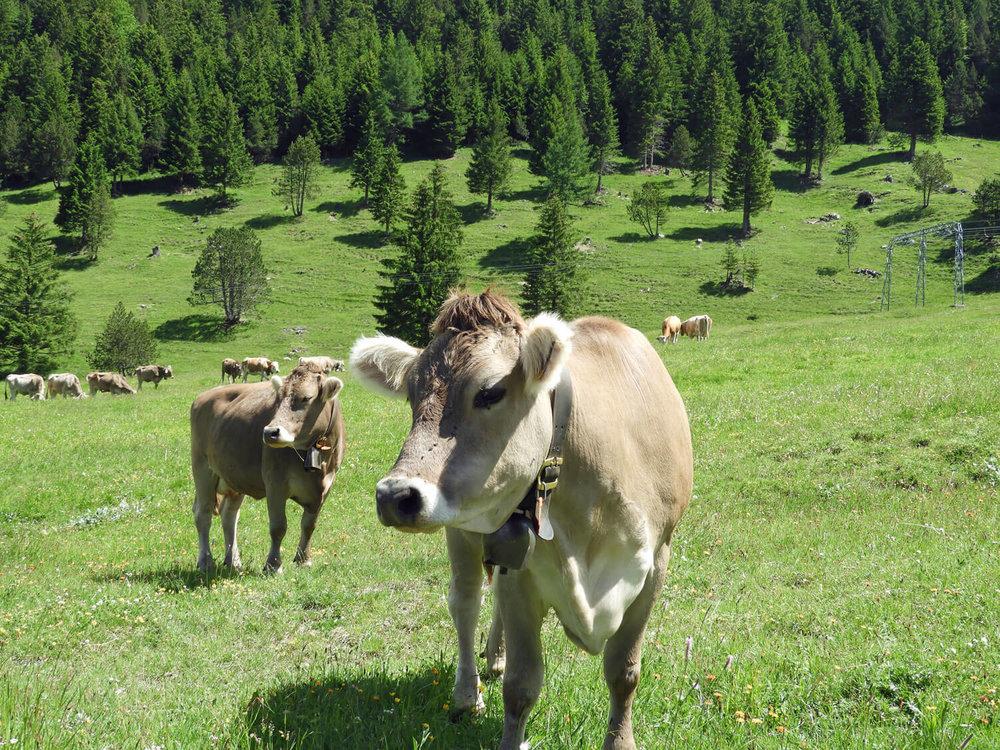 liechtenstein-malbun-green-cows-bells-pasture.jpg