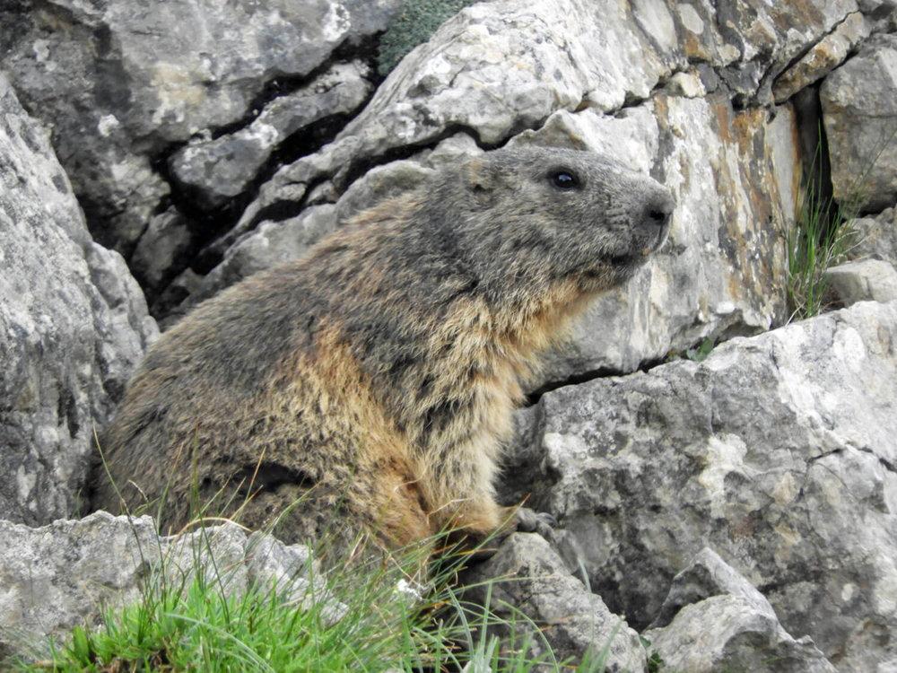 liechtenstein-malbun-mountain-marmot-summer.jpg