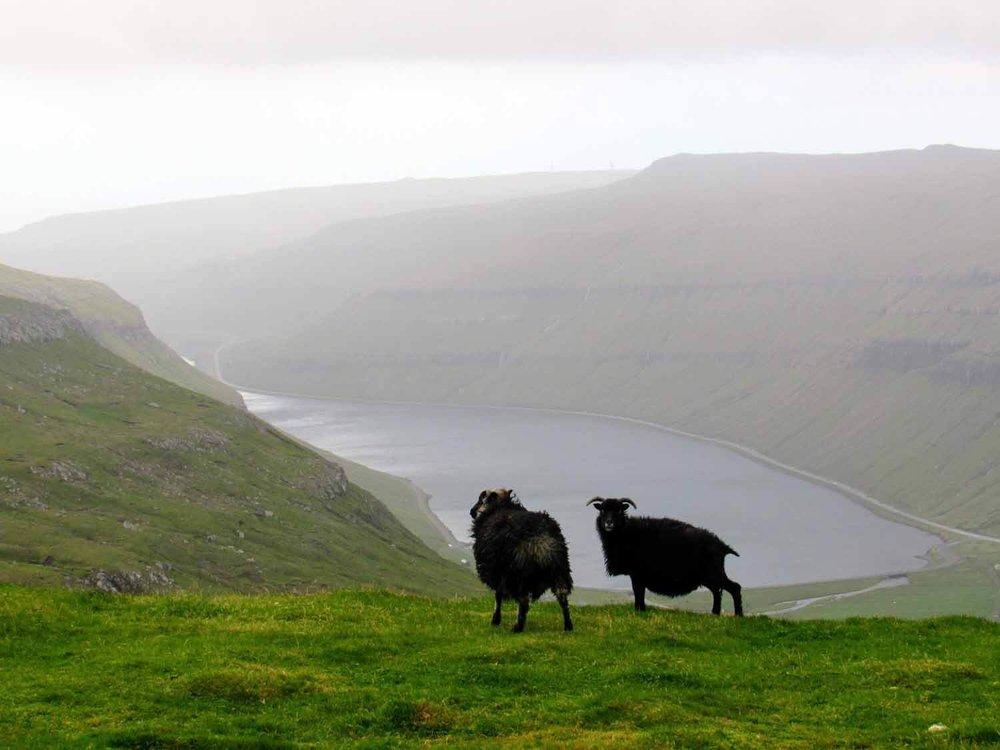 denmark-faroe-islands-streymoy-sheep-black-cloudy-bay.jpg