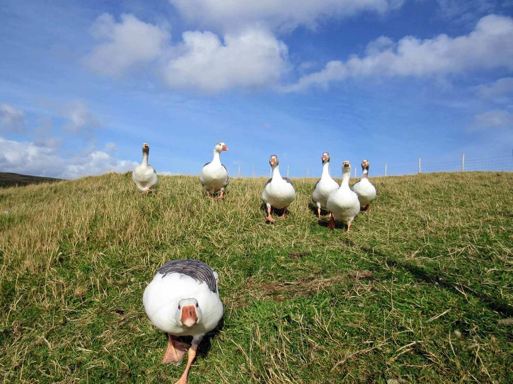denmark-faroe-islands-nolsoy-geese-ducks-hungy-curious.jpg