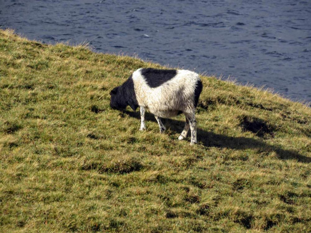 Fun Fact - The Faroes Sheep have been raised in near isolation since the 9th century creating a unique breed. The sheep appears on the Island's Coat of Arms and is integral to the local culture and heritage. The Faroese word Føroyar, is thought to mean