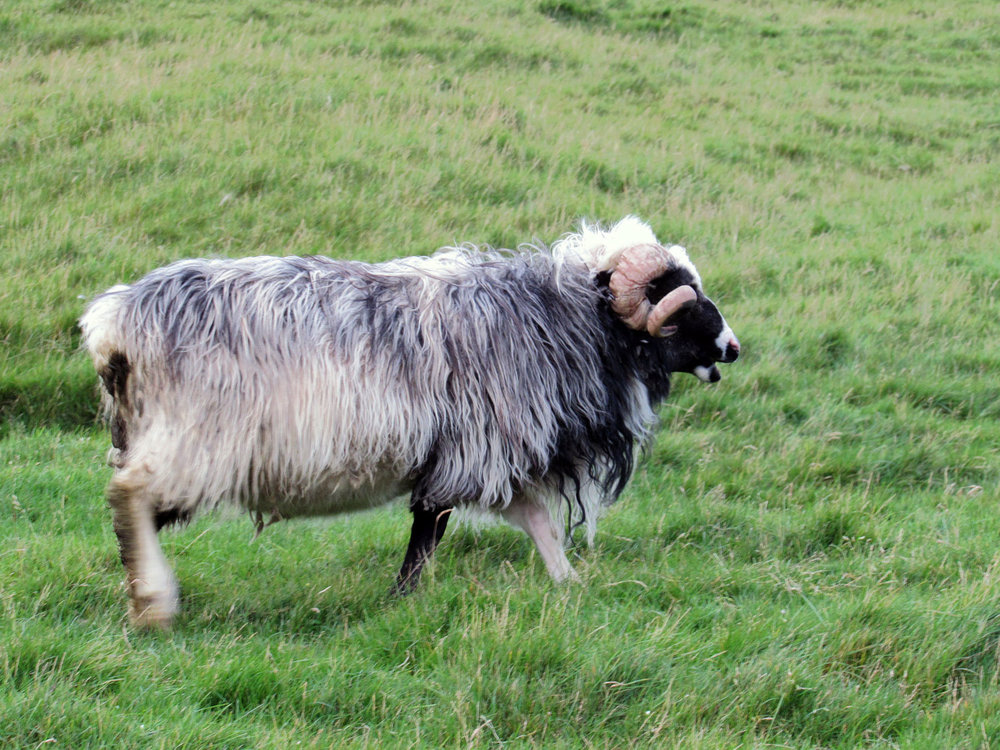 denmark-faroe-islands-kalsoy-sheep-ram-curly-horns-gray-wool.jpg