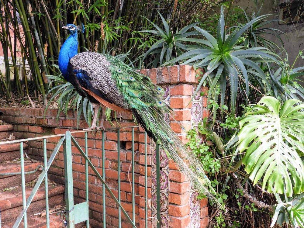 portugal-lisbon-lisboa-peacock.jpg