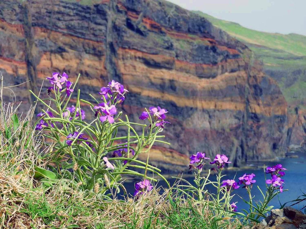 portugal-madeira-island-hike-ponta-sao-lourenco-eastern-point-cliff-wildflowers.JPG