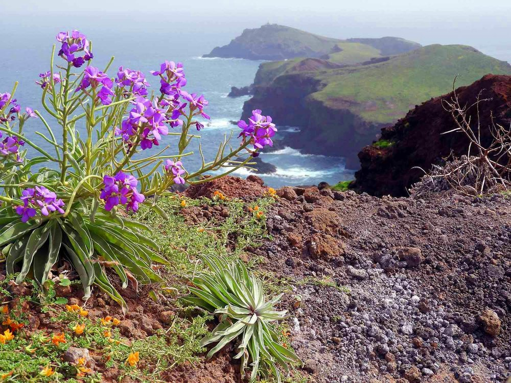 portugal-madeira-island-hike-ponta-sao-lourenco-eastern-point-wildflowers.JPG