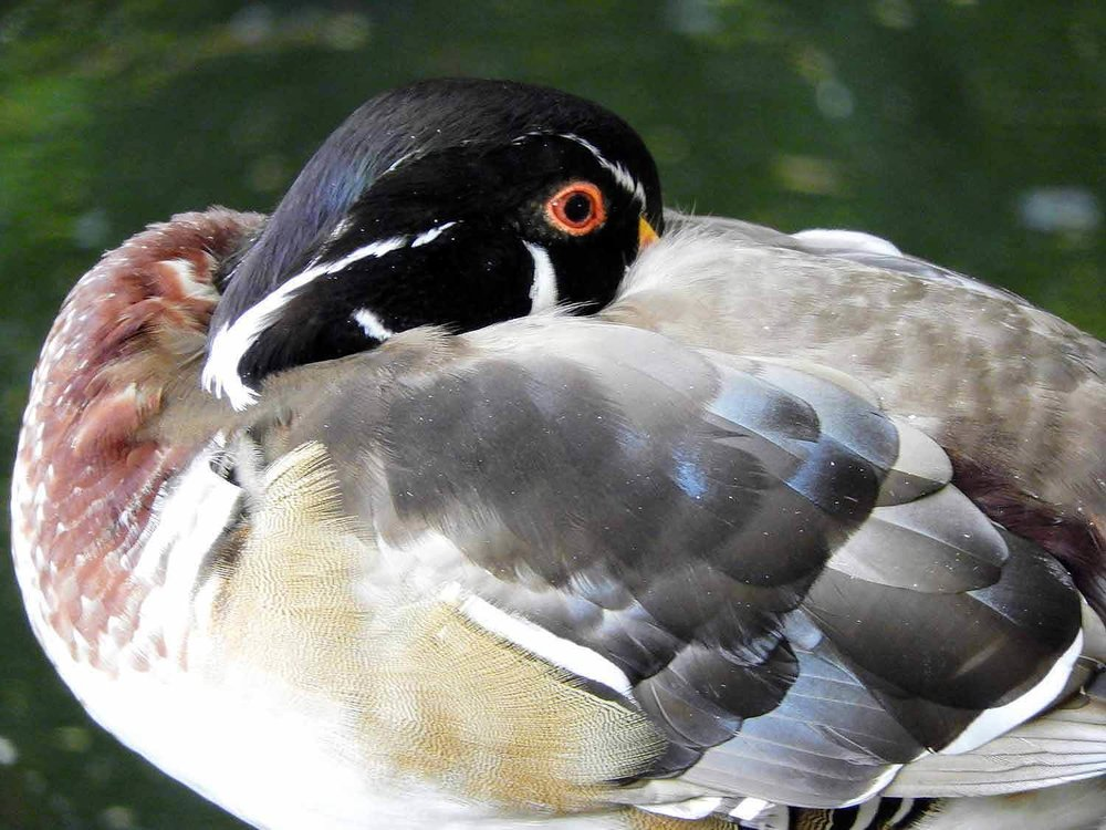 france-nancy-duck-feathered-waterfowl-park.jpg