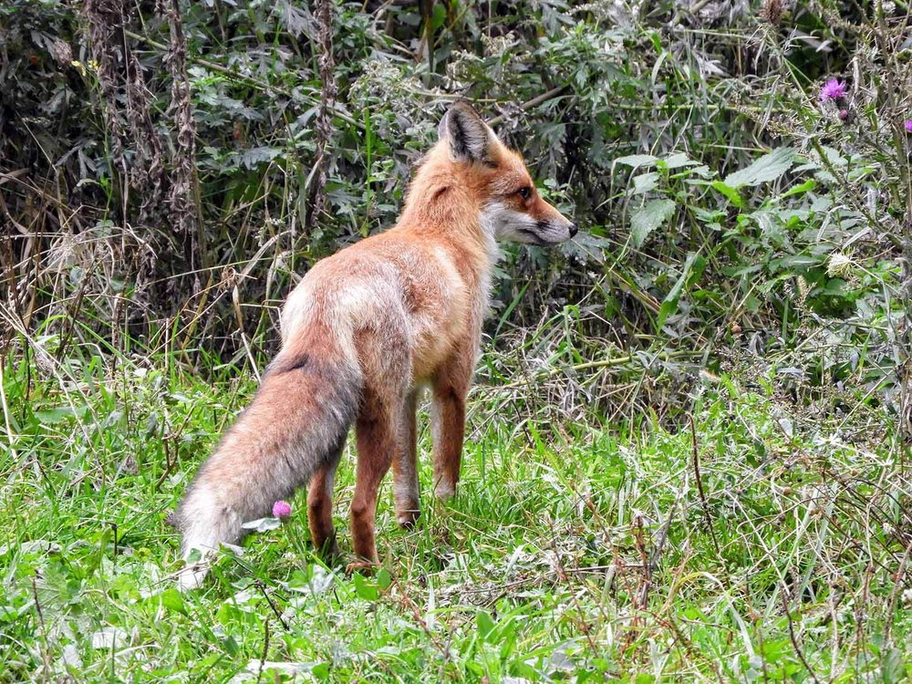 romania-saint-st-ann-crater-lake-fox-red-wildlife.jpg