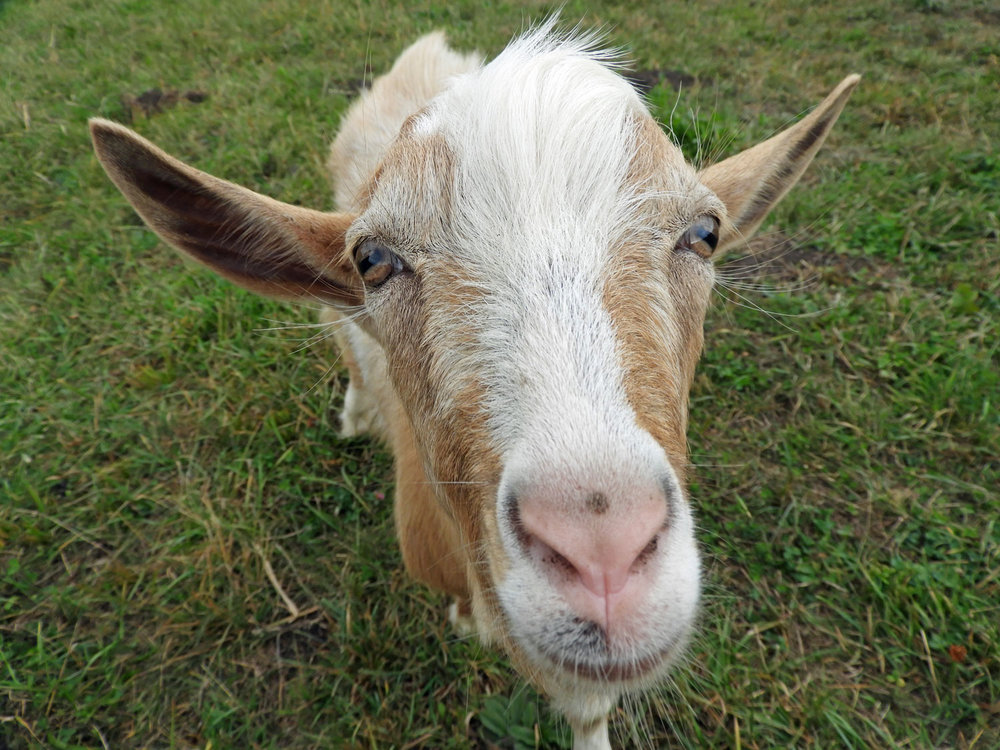 romania-valcele-goat-friend.jpg