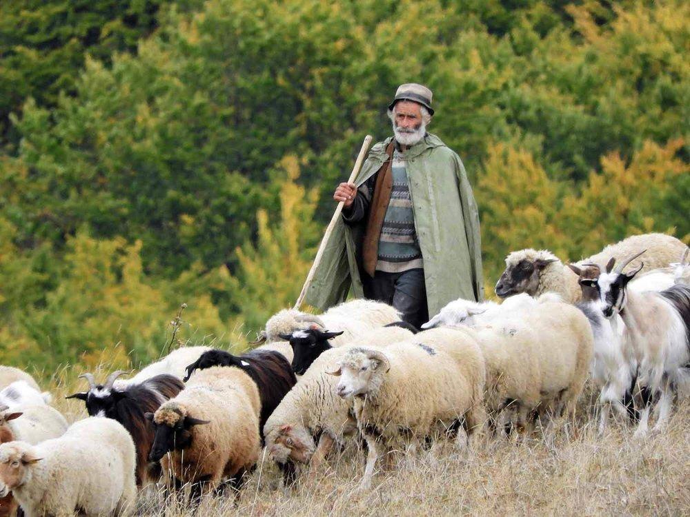 romania-valcele-old-sheep-herder-shepard-pastor.jpg