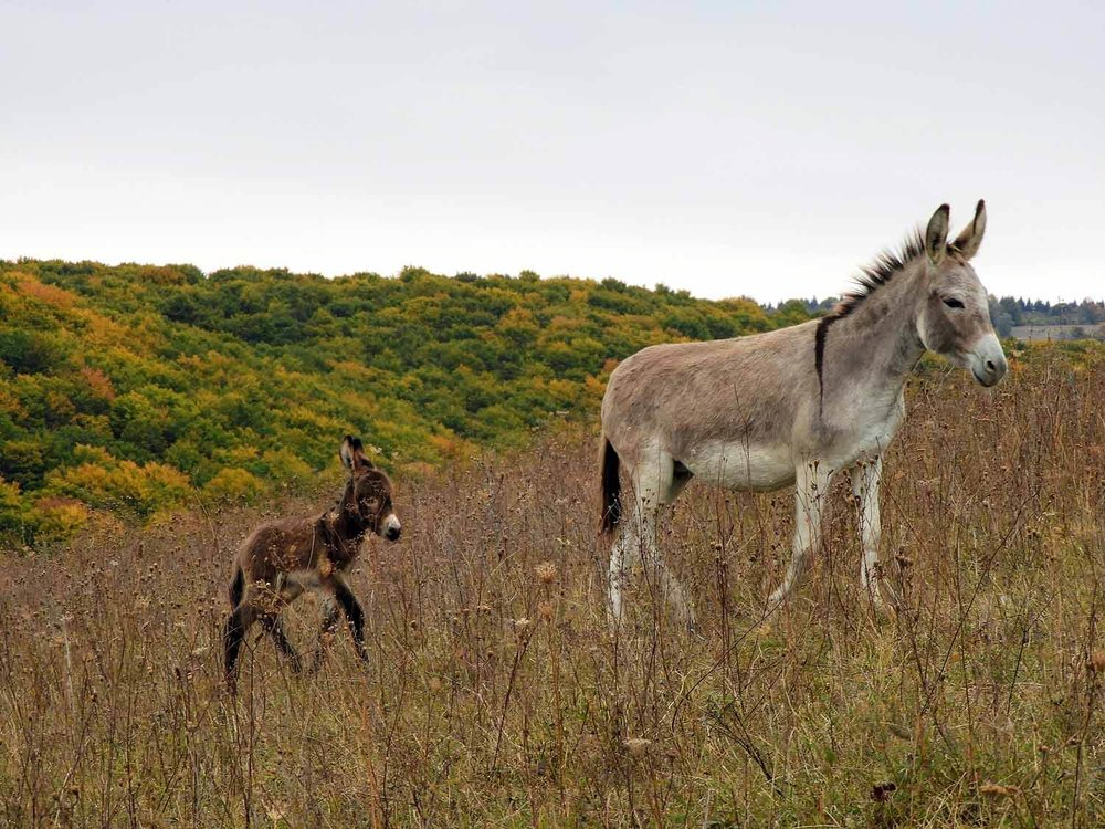 romania-valcele-donkey-mother-baby-autumn.jpg