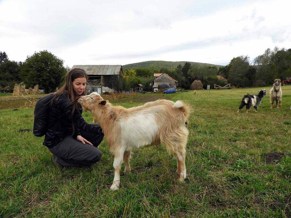 romania-valcele-farm-goat.jpg