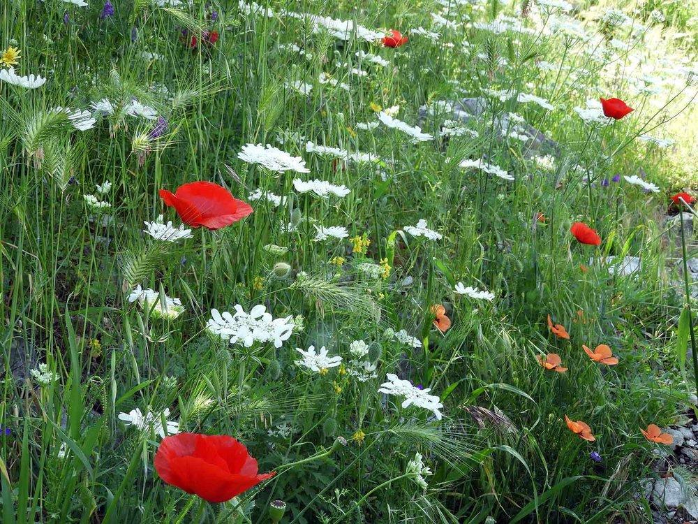 montenegro-kotor-wildflowers-poppies.jpg