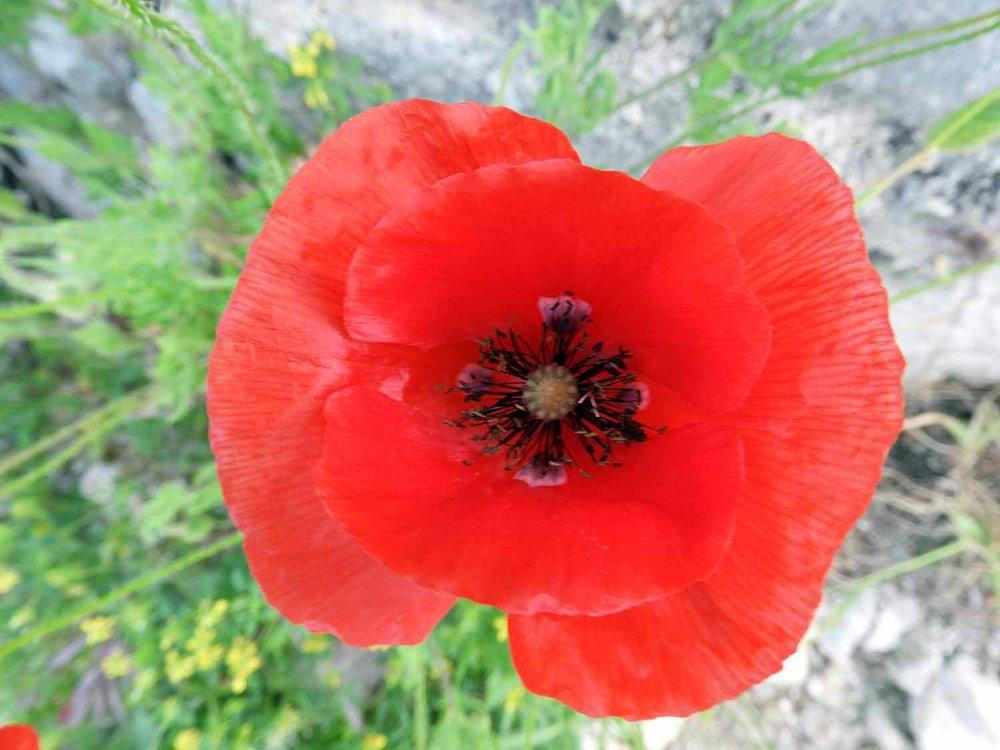 montenegro-kotor-poppy-red.jpg