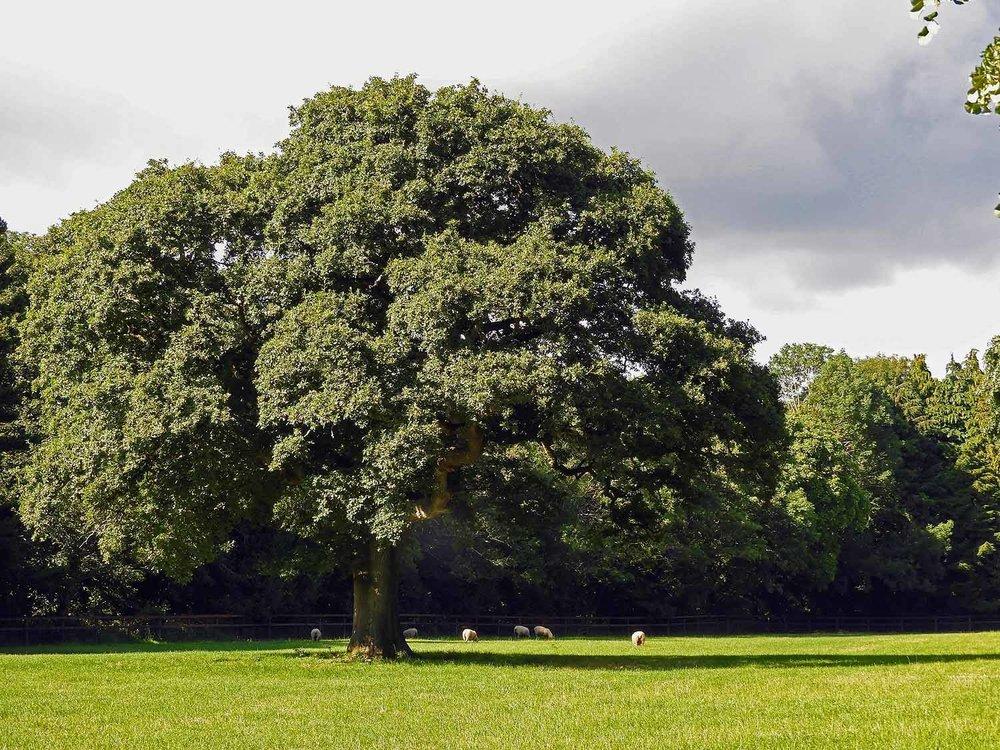 ireland-blarney-castle-tree-sheep.jpg