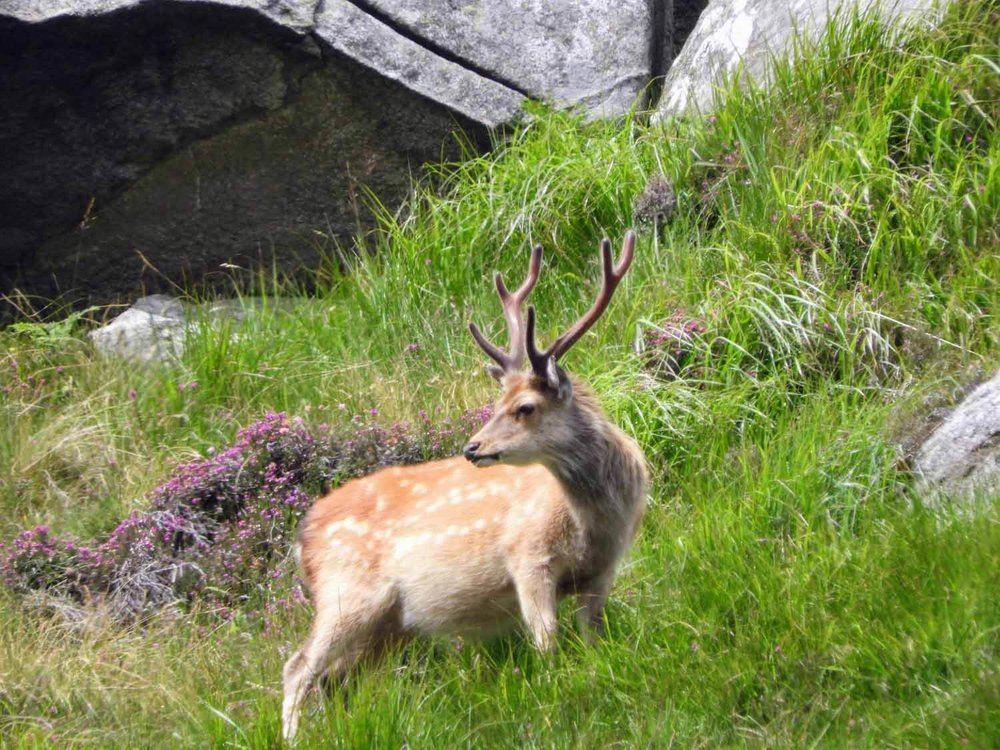 ireland-glendalough-monastic-deer-hybrid-stag.jpg