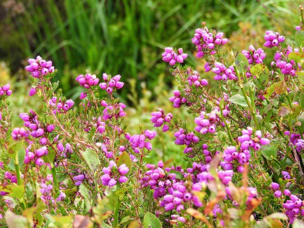 ireland-glendalough-monastic-flowers-purple.jpg