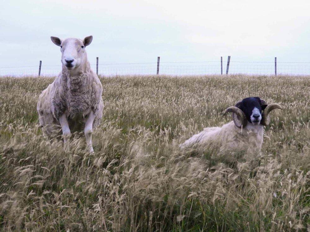 ireland-donegal-sheep-ram-ewe-tall-grass.jpg