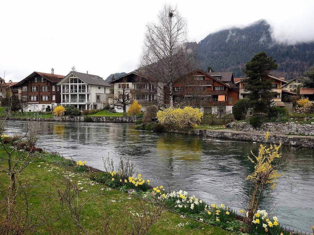 switzerland-interlaken-river-forsynthia-flowers.jpg